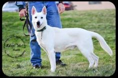 Buck is an adoptable German Shepherd Dog Dog in Minneapolis, MN.  Adoption fee $350 plus tax Buck is a beautiful 5 year old, 65 pound, White German Shepherd. He was brought to the shelter as a stra...