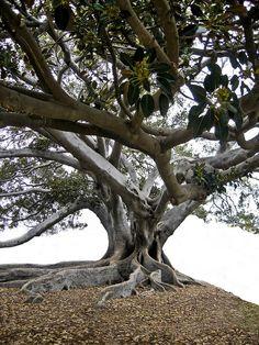 Moreton Bay Fig in Santa Barbara