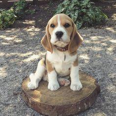609 Likes 73 Comments - Oscar & Sawyer (@sawyer_oscar_beagles) on Instagram: Little puppy sawyer! He was and still is a little bundle of joy! #beagle #beagleworld_feature