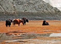 Tashkorgan Archives - The Silk Road Gourmet Animal Alphabet, Silk Road, Camel, Animals, Gourmet, Animais, Animales, Animaux, Camels