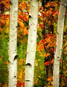 Name: Aspen Also Known As: Populus tremuloide Parts Used: Bark Properties: Tannins, flavonoids, stimulant, diuretic, cooling, drying, stabilizing, restoring, anti-parasitic Summary: In addit...
