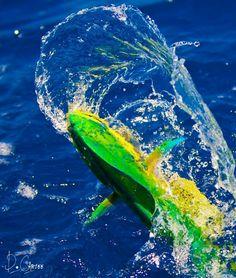 Mahi Mahi .... can't wait to go saltwater fishing again!!
