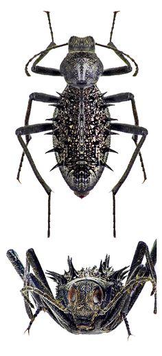 Somaticus (Clinocranion) spinosus