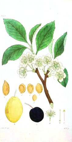 Botanical - Flower - Almond flower
