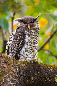 Spot-bellied Eagle-Owl (Bubo nipalensis) by Sai Adikarla Grand Duc, Nocturnal Birds, Owl Photos, Owl Always Love You, Horned Owl, Beautiful Owl, Wise Owl, Bird Pictures, Owl Art
