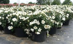 White Out Rose - Rosa 'RADwhite' for Sale - Brighter Blooms Nursery