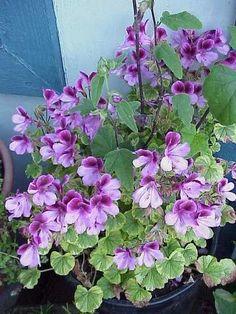 geranium                                                                                                                                                                                 More