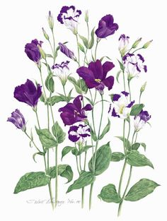Sandra Wall Armitage - Botanical Artist and Illustrator - Originals Botanical Drawings, Botanical Illustration, Botanical Prints, Illustration Art, Watercolor Flowers Tutorial, Nature Plants, Floral Illustrations, Watercolor Cards, Online Art Gallery