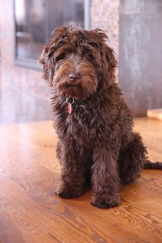 Midwest Labradoodle Olive Australian Multi Gen Labradoodle Chocolate Girl-5 months