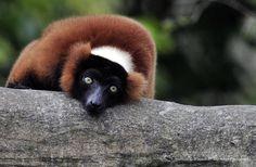 Red Ruffed Lemur   Red, Lemur, Lemurs, Animal, Animals, Madagascar, Rainforests, Masoala, Rainforest, Island, Primate, Primates, Animal Photography, Fine Art Photography, Nature Photography, Primates, Mammals, Paradise Island, Lemur, Before Us, Flora And Fauna