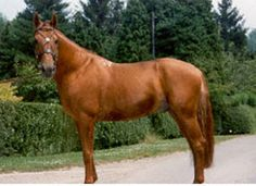 Russian Don horse breed