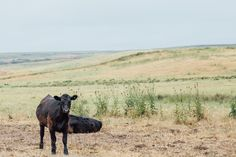 Cows on the side of the road on my California Road trip: Tomales Bay - Kehoe Beach | Emilie Waugh Photography