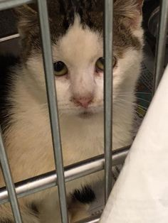 Sad Eyes is a male DSH cat available at Liberty Humane Society, Jersey City,NJ.