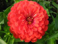 Zinnias.attract hummingbirds which eat whiteflies. Alternately the pastel varieties of zinnias can be used as a trap crop for Japanese beetles. All zinnias attract bees and other insect pollinators.