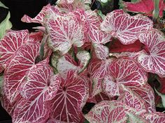 Monrovia's Peppermint Caladium details and information. Learn more about Monrovia plants and best practices for best possible plant performance. Purple Succulents, Hanging Succulents, Rare Succulents, Succulents Garden, Garden Plants, House Plants, Planting Flowers, Succulent Care, Succulent Terrarium