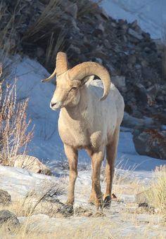 Big Horn Sheep, National Elk Refuge, Jackson, WY