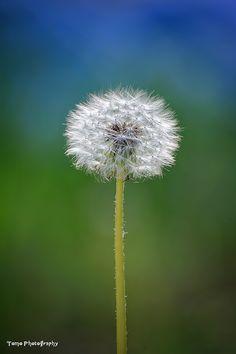 Dandelion by WindyLife on DeviantArt