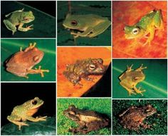 "Herpetology :   Herpetology is the research of amphibians, reptiles, turtles, and crocodilians. Herpetology is involved with poikilothermic, ectothermic tetrapods. Under this meaning ""herps"" remove seafood, but it is not unusual for herpetological and ichthyological medical cultures to ""team up"", posting combined publications and having conventions to be able to advertise the return of concepts between the areas."