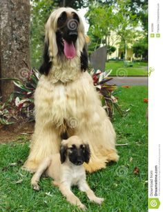 afghan hound mom and puppies | pure breed afghan hound adult and his puppy in front of him laying