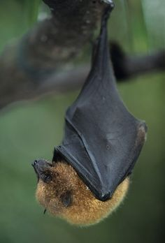 Do All Bats Have Fangs? | Animals - mom.me