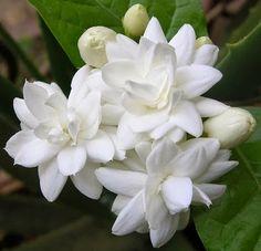 Jasmine Flowers Plants Bush Tea Symbolism Tattoos And