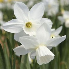 Narcissus Niveth
