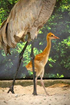 So sweet! @SeaWorld Orlando now caring for orphaned Sandhill Crane chick.