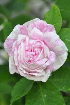 Rosa 'À Fleurs Panachées' (unknown origin, before 1775)