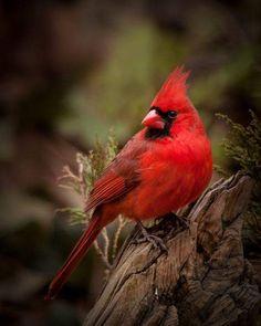 beautiful cardinal - nature   life on earth - red - bird - birds - animal - animals - wild - wilderness - natural - nature photography - beautiful