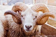 Isländischer Schafbock Eythor – männliches isländisches Schaf