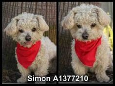 SIMON is an adoptable Poodle Dog in San Pedro, CA.  ...