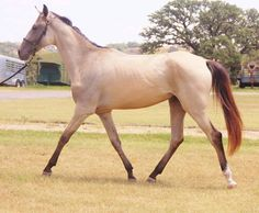 Akhal.Teke Horse Association