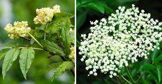 Ätlig fläder eller giftig? Smarta tricket avslöjar grenen Herbs, Land, Medan, Gift, Herb, Gifts, Favors