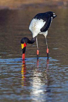 Saddle-billed Stork Fishing, Mala Mala Game Reserve, South Africa