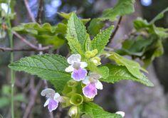 Plantas: Beleza e Diversidade: Cidreira-bastarda (Melittis melissophyllum)