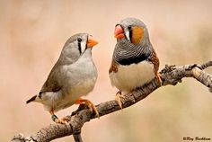 """""""Video: Birds observed arguing over parental duties for first time. Even bird spouses argue. A new study finds that zebra finches (Taeniopygia guttata) squawk it out if one partner is not fulfilling its parental duties."""""""