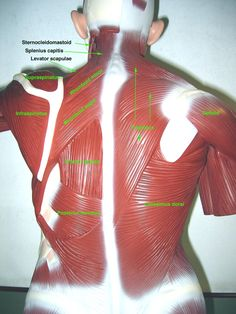 85 best Anatomy lab 2 images on Pinterest | Anatomy and physiology ...