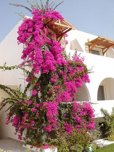 bougainvillea in the front yard