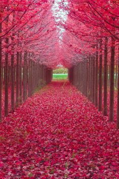 Beautiful Color of Red Leaves corridor!
