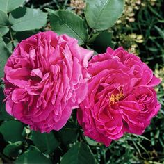 Madame Isaac Pereire  Considered one of the most fragrant roses in history, 'Madame Isaac Pereire' bears petal-filled, deep raspberry-rose flowers in spring and again in summer.