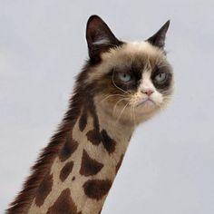 Grumpy Cat Giraffe on http://www.drlima.net