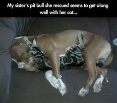 10 pictures of situations that show the true nature of pit bulls - Tiere - Hunde Baby Animals, Funny Animals, Cute Animals, Animal Funnies, Animal Memes, Pit Bulls, Crazy Cat Lady, Crazy Cats, I Love Dogs