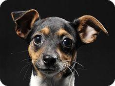 Nanuet, NY - Chihuahua/Rat Terrier Mix. Meet Spice, a puppy for adoption. http://www.adoptapet.com/pet/14405929-nanuet-new-york-chihuahua-mix
