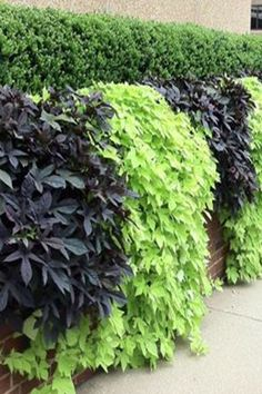 We're in love with this Sweet Potato Vine.