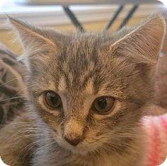 HILLSBORO, OR - Domestic Shorthair. Meet 'Zoey' - FeLV positive - sweet and friendly, a kitten for adoption. http://www.adoptapet.com/pet/16962167-hillsboro-oregon-kitten