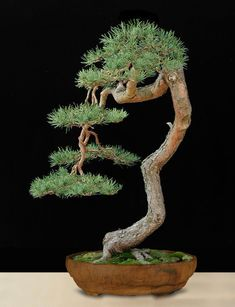 Ficus Bonsai, Pine Bonsai, Bonsai Plants, Indoor Bonsai, Indoor Plants, Garden Terrarium, Bonsai Garden, Bonsai Tree Types, Bonsai Styles