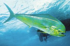 the Dolphin fish also called Dorado, Mahi Mahi.possibly one of the most beautiful fish in the sea. Mahi Fish, Mahi Mahi, Dorado Fish, Ocean Aquarium, Dolphin Art, Salt Water Fish, Underwater Creatures, Salmon Fishing, Deep Sea Fishing