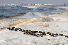 Bison on the Fort Peck Reservation