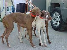 Resultado de imagen para chocolate brown greyhound