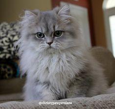 Reputable Missouri Persian cat breeder - CHRISTYPAW PERSIANS Teacup Persian Kittens, Persian Kittens For Sale, Kitten For Sale, Persian Cats, Guinea Pig Toys, Guinea Pig Care, Guinea Pigs, Persian Cat Breeders, Horse Care